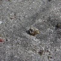 Unfreundlicher Geselle - ein Marmor-Schlangenaal im 2 Meter Bereich, September 2009