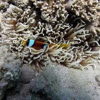 Clownsfisch regt sich auf, September 2009