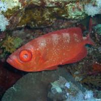 Indopazifischer Großaugenbarsch, September 2009