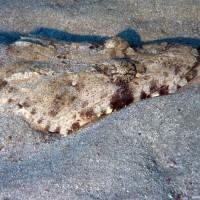 Krokodilsfisch, September 2009