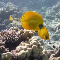 Ein Pärchen Maskenfalterfische, September 2009