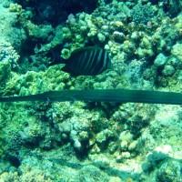 Trompetenfisch, März 2005