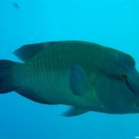Napoleonfisch, März 2005