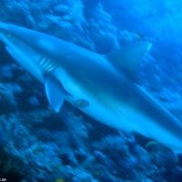 Grauer Riffhai, März 2005