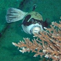 Maskenkugelfisch, März 2005