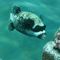 Maskenkugelfisch, Mai 2007