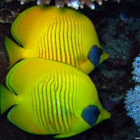 Masken-Falterfische, Mai 2007