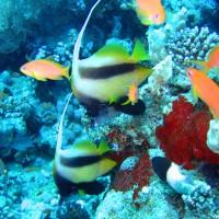 Wimpelfische, Mai 2007