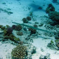 Trompetenfisch, Mai 2007