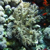 diverse Weichkorallen, Mai 2007