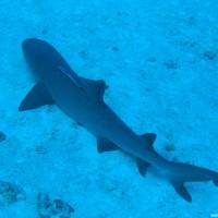 Weißspitzenriffhai ruht aus, Oktober 2006