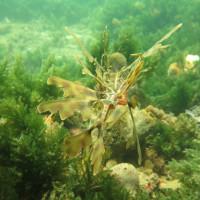 Leafy Seadragon, November 2014