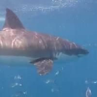 Käfigtauchen mit dem Weißen Hai, ungeschnitten, unbearbeitet, Dezember 2014