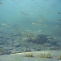 Jede Menge Fisch im Flachwasser oben am Rand der Steilwand, Juli 2005