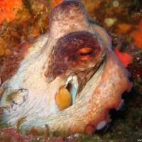 Oktopus, August 2006