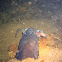 Conger beim Fressen eines Oktopusses, August 2006