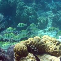 Gitter-Doktorfische, September 2005