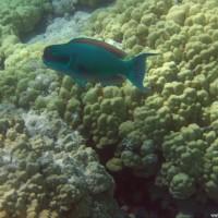 Buckelkopf-Papageienfisch, September 2005