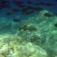 Doktorfische und Forellenbarsch, September 2005