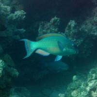Gelbbrust-Papageienfisch, September 2005