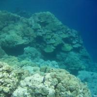 Riff-Formation bewachsen mit Bogen-Porenkorallen, September 2005