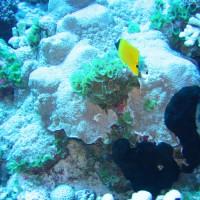 Röhrenmaul-Pinzettfisch, September 2005