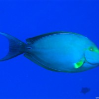 Gelbflossen-Doktorfisch, September 2005