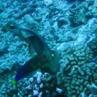 Gelbschwanz-Junker vor Riesendrücker-Fisch, September 2005