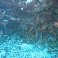 Großschuppen-Soldatenfische, September 2005