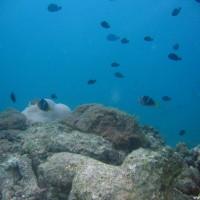 Clarks Anemonenfische vor Seeanemone, September 2005