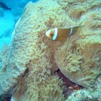 Clarks Anemonenfisch vor Seeanemone, September 2005
