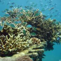 Acropora Korallen mit Chromis Schwarmfisch, September 2007