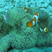 Teppichanemone mit Clownsfischen, September 2007