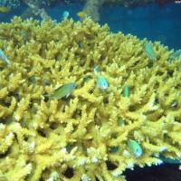 Acropora Korallenstock mit Chromis Fischen, September 2007