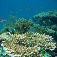 Acropora Korallen und Schwarmfisch, September 2007