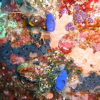blaue Seescheiden, September 2007
