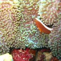 Anemone mit Clownsfisch, September 2007