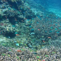 Acropora Korallen und Schwarmfisch im Flachwasserbereich, Oktober 2007
