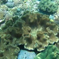Große Lederkorallenkolonien im Flachwasser am Rande der Bucht, Oktober 2007
