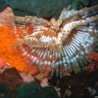 Röhrenwurm, September 2007