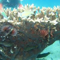 kleine Rotfeuerfische unter Acroporakorallenstock, September 2007