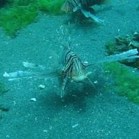 Rotfeuerfische, September 2007