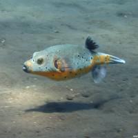 Kugelfisch im Flachwasserbereich, September 2007