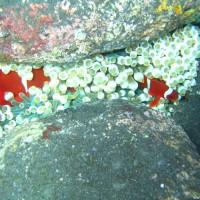 Anemonenfische mit Anemone im Flachwasserbereich zwischen großen runden Steinen, September 2007