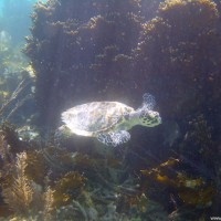 junge Karettschildkröte, Januar 2004