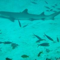 Weißspitzenriffhai, Oktober 2002