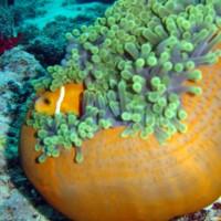 Malediven-Anemonenfisch, Oktober 2002