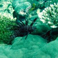 Rotfeuerfisch, September 2002