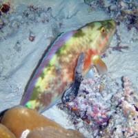 eingeschleimter Papageienfisch, Oktober 2002