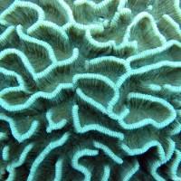Oberfläche einer Hirnkoralle, Oktober 2003